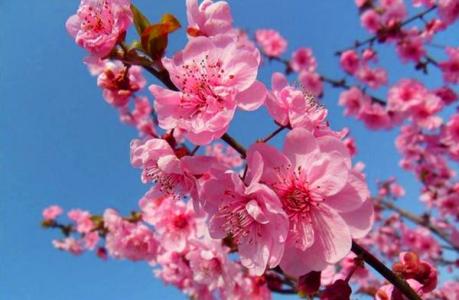 桃花朵朵开,你犯桃花吗?